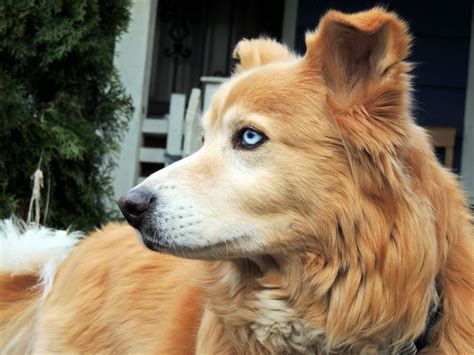 best golden retriever mix golden retriever husky mix to choose beautiful twilight and