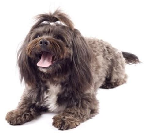 havanese breed profile puppies for sale dogs for sale breeders