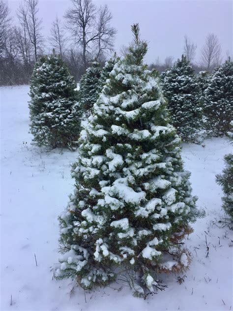 100 white pine christmas trees artificial christmas