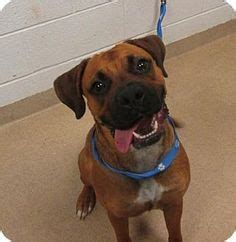 rottweiler ohio image result for boxer rottweiler mix boxer mixed rottweiler mix