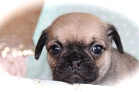 chihuahua x pug puppies pug x chihuahua puppies images frompo