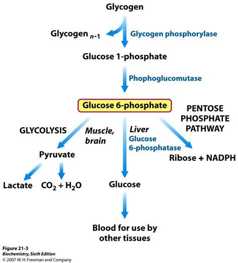 New Glucogen Glucogen 2 new glycogen reducing end glycogen