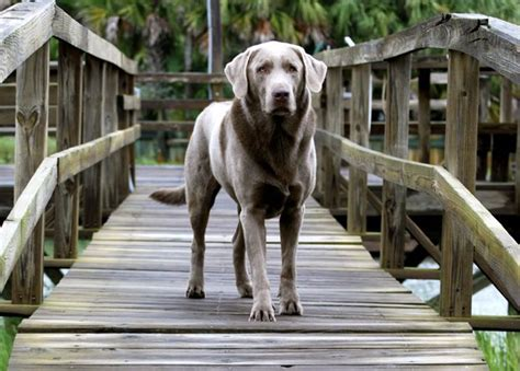 lab puppies sc 17 best ideas about silver labs on silver lab puppies silver labrador and