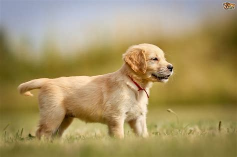 Puppy Golden Retriever golden retriever breed information buying advice