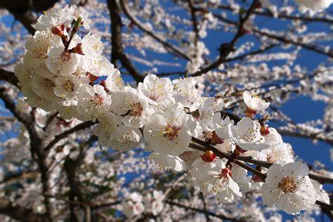 fiori albicocco albicocco in fiore juzaphoto