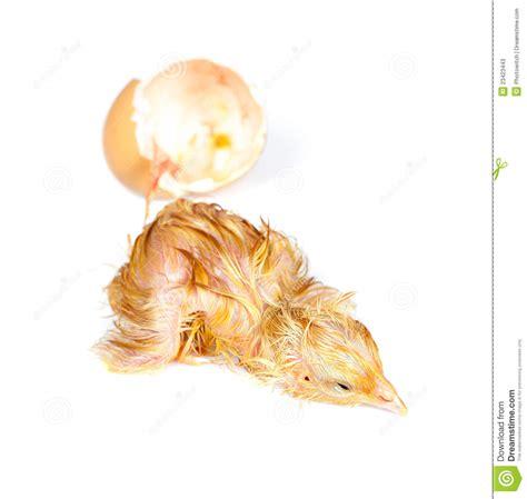 pulcino bagnato pulcino bagnato faticoso fotografie stock immagine 23423443