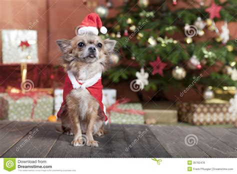 christmas dog before christmas tree stock photo image
