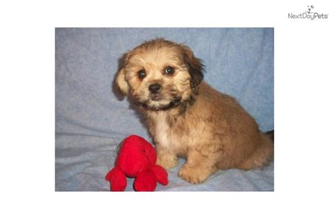 yorkie poo puppies st louis mo miniature pinscherbeagle mix puppy for sale in st louis missouri breeds picture