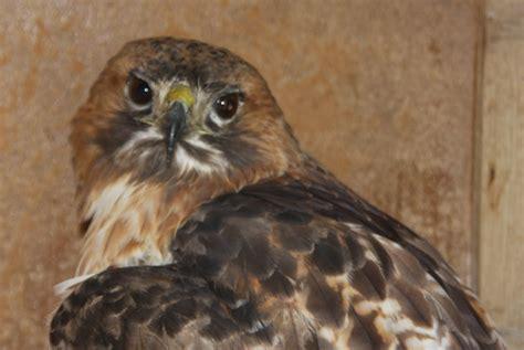 wildcare cape cod tailed hawk recuperating at care cape cod