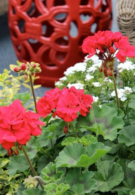 Pflanzzeit Geranien Balkon by Geranien Pflanzzeit Fr Hjahr Ist Pflanzzeit Welche Blumen