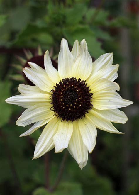 Biji Bunga Sunflower Italian White sunflower italian white buy at s annuals