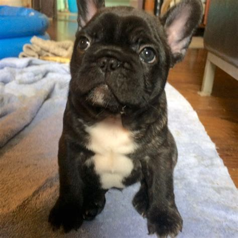bulldog puppies for sale san diego view ad bulldog puppy for sale california san diego usa