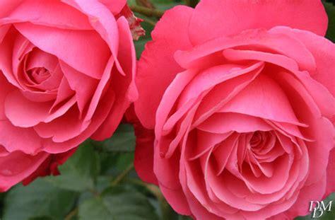 fiori maggio fiori 1 maggio stratfordseattle