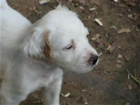 setter puppies for sale in michigan setter puppies in michigan