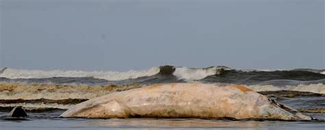 giant gooey smelly whale washes up on n oregon coast