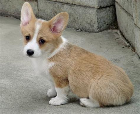 pembroke corgi puppies pembroke corgi puppies rescue pictures information temperament