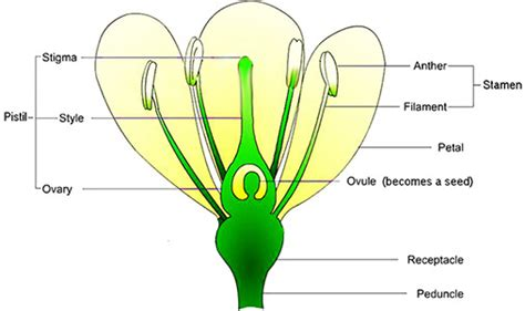 pollination diagram plant pollination diagram