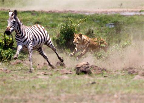 imagenes de leones cazando jirafas asombrosa leona cazando una cebra videos de animales