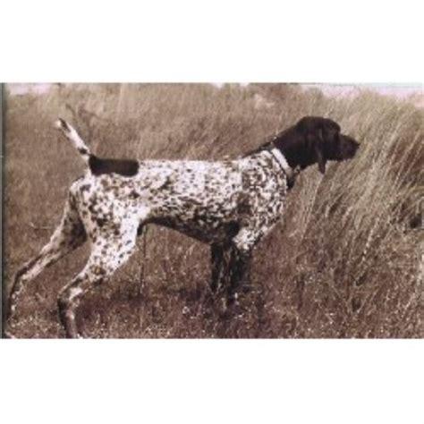 german shorthaired pointer puppies ohio bernard photo bernard breeders colorado bernard breeds picture