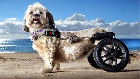 sedia a rotelle per cani paralizzato corre di nuovo grazie a una mini sedia a