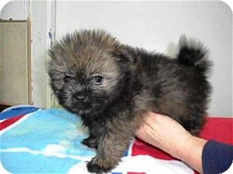 pomeranian lhasa apso mix roosevelt adopted puppy bartonsville pa pomeranian lhasa apso mix