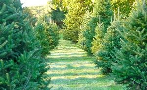 christmas tree farm somerset nj northeast new jersey tree farms choose and cut trees tree lots with pre