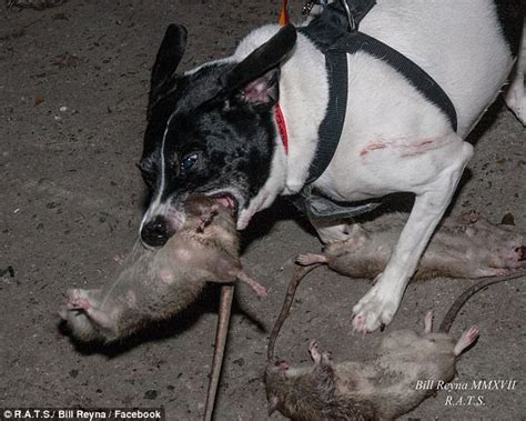 rat dogs new york s rat catching dogs help wipe out city s vermin daily mail