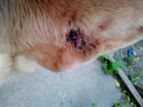 scabs on dogs ears scabs on dogs ears