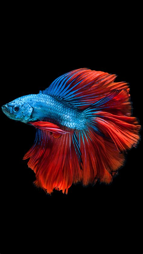 wallpaper iphone 6s hd fish apple iphone 6s wallpaper with red and blue betta fish and