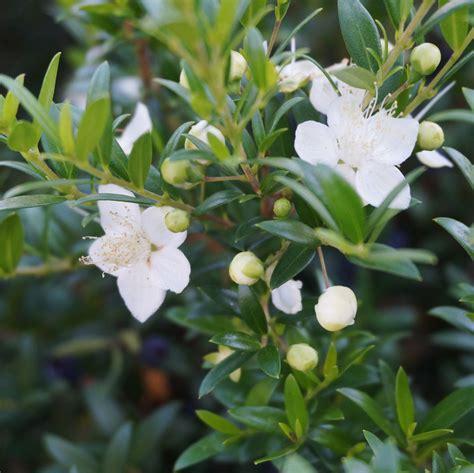 myrtle plant myrtle a growing success garden in delight