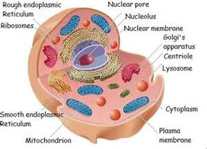 what color is cytoplasm 2cslacardano bb biology