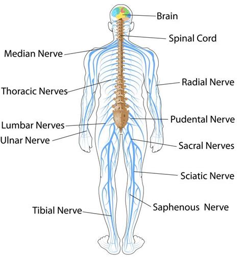 diagram of central and peripheral nervous system the nervous system and sense organs icse solutions for