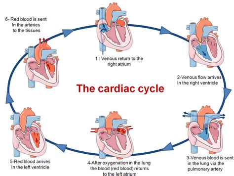 this diagram of the human cycle shows that pumping organ the