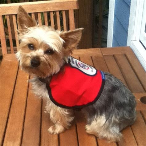 service vest for dogs 17 best images about service on chihuahuas vests and service dogs