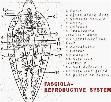 labelled diagram of fasciola hepatica fasciola hepatica liver fluke structure biozoom