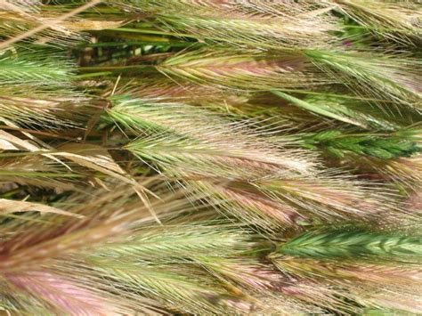 plant awns barley grass awns halifax vet centre