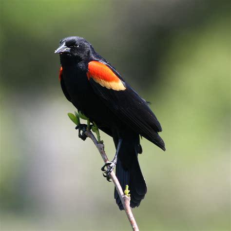 christmas bird count volunteers inform conservation