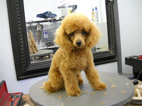 poodle haircuts images pictures of poodle haircuts how to make poodle puppy cut