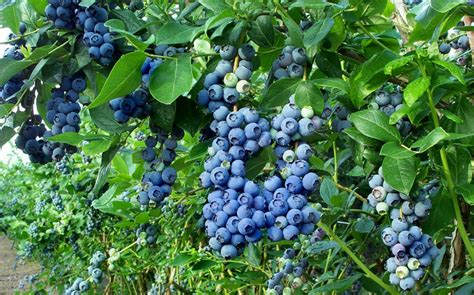 backyard berry plants exterior help blueberry plants bushes with fruit are numerous and clustered in the