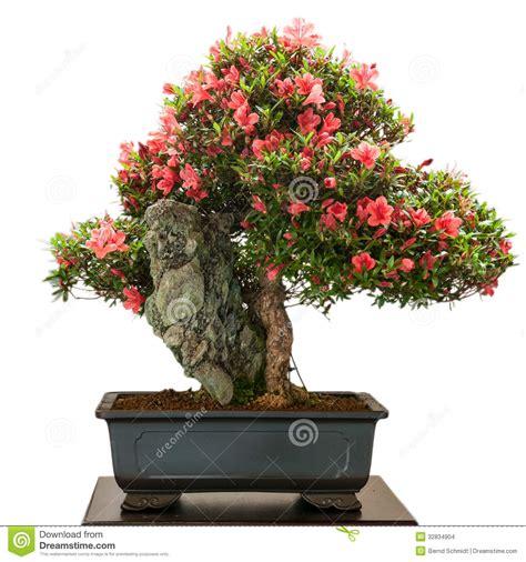 bonsai con fiori albero dei bonsai di indicum rododendro con i fiori