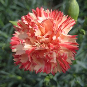 Dianthus Chabaud Orange orange carnation seeds 2bseeds