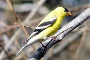 new jersey state bird gallery
