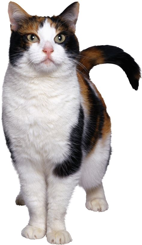 cat png transparent images png