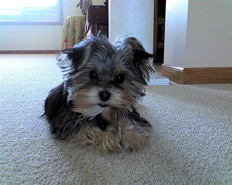 morkie puppies for sale in nc morkie puppies for sale nc foto gambar wallpaper 69