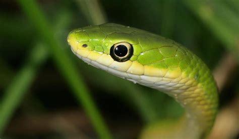 imagenes de serpientes oscuras im 225 genes de la v 237 bora jerg 243 n im 225 genes y fotos
