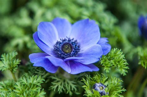 17468 Blue Flowers 2 Warna blue anemone flowers of photograph by rainbow