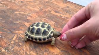 russian tortoises little angry baby russian tortoise youtube