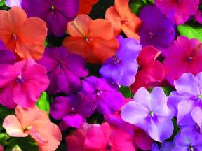 color flower flowers for flower impatiens flowers