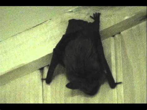 how to get a bat out of the house youtube