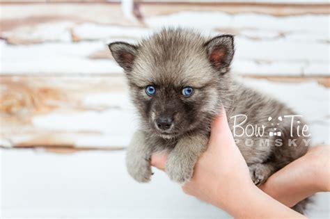 miniature pomeranian husky for sale 1st puppy 23 boy bowtie pomsky world